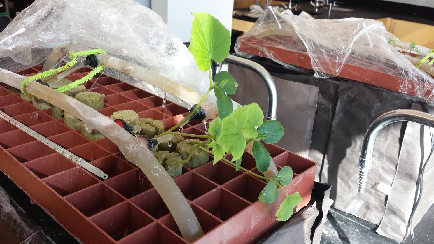 Cucumbers growing in one of our test hydroponic systems. Notice the cucumbers reaching for the light!