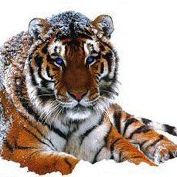 hsingai-tigris-altaica