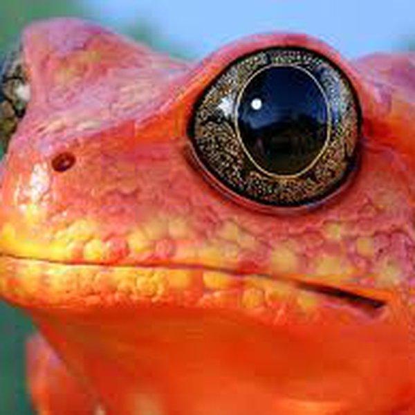 bigredfrog